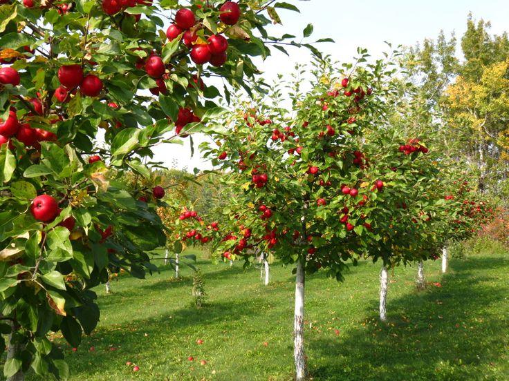 Ябълковата градина